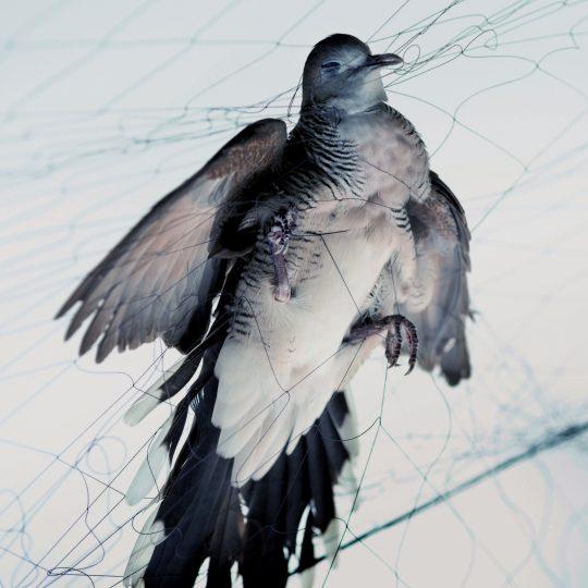 Zdjęcie przedstawia ptaka oplecionego delikatną siatką.